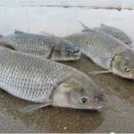 ماهی سفید نر ایرانی