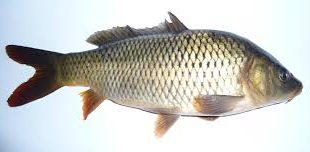 ماهی سفید دریایی