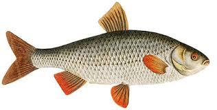 ماهی سفید طلایی