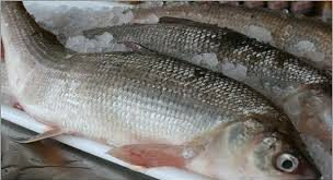 ماهی سفید آزاد