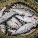 خریدار ماهی سفید ارزان
