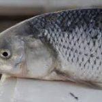 خرید انواع ماهی سفید زابل