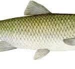 فروش عمده ماهی سفید اعلا