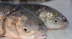قیمت فروش ماهی سفید زابل