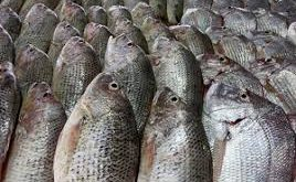 پخش انواع ماهی سفید تهران