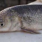 پخش عمده ماهی سفید اعلا
