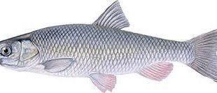 بازار فروش ماهی سفید دودی