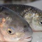 خرید عمده ماهی سفید زابل