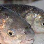 سایت خرید عمده ماهی سفید