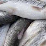 صادرات ماهی سفید ارزان