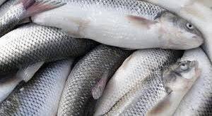 عرضه ماهی سفید تهران