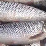 بازار خرید ماهی سفید مناسب