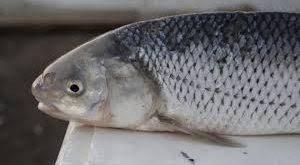 خرید اینترنتی ماهی سفید زابل