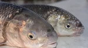 خرید عمده ماهی سفید مرغوب