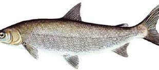 خرید ماهی سفید دریا