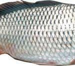 صادرات ماهی سفید ایران