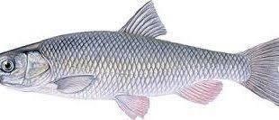 صادرات ماهی سفید زابل