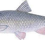 عرضه ماهی سفید ایرانی