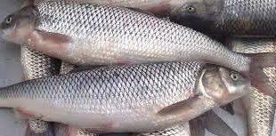 فروشنده ماهی سفید خزر