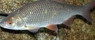 فروشنده ماهی سفید دریا