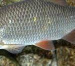 فروش اینترنتی ماهی سفید دریا