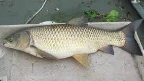 فروش عمده ماهی سفید دریا