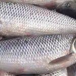 قیمت عمده ماهی سفید مناسب