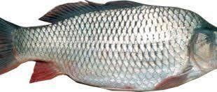 پخش عمده ماهی سفید در ایران