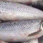 پخش ماهی سفید خزر
