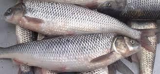 خریدار ماهی سفید رشت