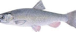 سایت خرید ماهی سفید ایرانی
