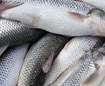 تولید کننده ماهی سفید پرورشی