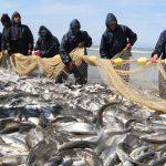 نرخ ماهی سفید