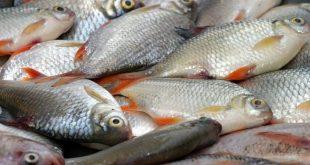 خرید ماهی سفید