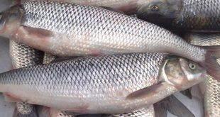انواع ماهی سفید