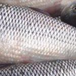 صادرات ماهی سفید