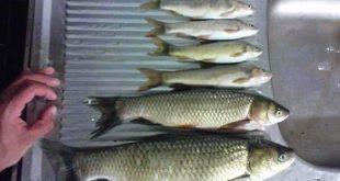 عرضه ماهی سفید