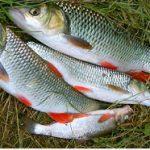 فرورش ماهی سفید