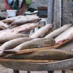 ماهی سفید مازندران
