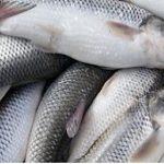 پخش ماهی سفید