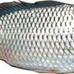 ماهی سفید تازه