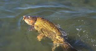 ماهی سفید آمور