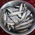 فروش ماهی سفید