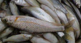 ماهی سفید چالوس