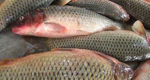 قیمت ماهی سفید